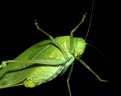 To An Insect Pretty Katydid Art Print by Tracie Kaska