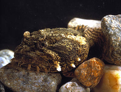 Mbl Photograph - Toadfish by Volker Steger