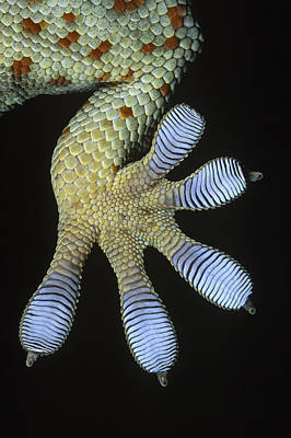 Photograph - Tokay Gecko Gecko Gecko Underside by Ingo Arndt