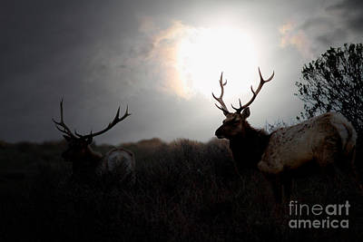 Tomales Bay California Tule Elks At Sunrise . 7d4402 Art Print