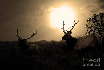 Tomales Bay California Tule Elks At Sunrise . Golden . 7d4402 Art Print
