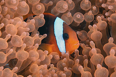 Y120831 Photograph - Tomato Anemonefish by Jones/Shimlock-Secret Sea Visions