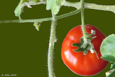 Photograph - Tomato by C Sitton
