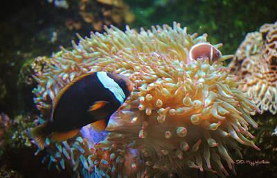 Clown Fish Photograph - Tomato Clown Fish by DiDi Higginbotham