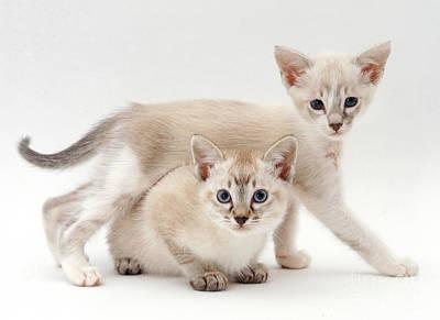 Tonkinese Cat Photograph - Tonkinese Kittens by Jane Burton