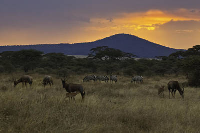Of Zebra Grazing Photograph - Topi And Zebra At Sunset, Serengeti National Park by John Wang