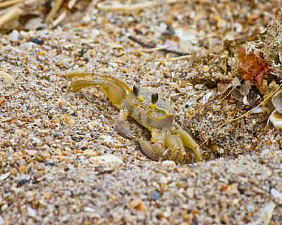 Topsail Photograph - Topsail Ghost Crab by Betsy Knapp