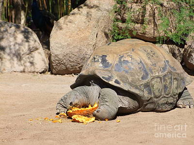 Phoenix Zoo Photograph - Tortoise And Pumpkin by Mary Deal