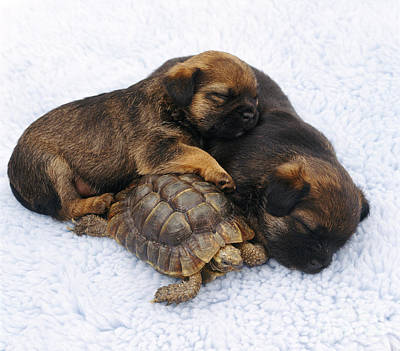 Animal Portraiture Photograph - Tortoise And Sleepy Puppies by Jane Burton