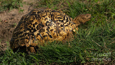 Photograph - Tortoise by Mareko Marciniak