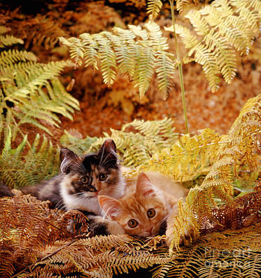 Animal Portraiture Photograph - Tortoiseshell And Ginger Kittens by Jane Burton