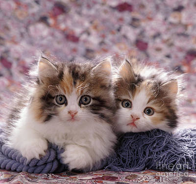 Animal Portraiture Photograph - Tortoiseshell-and-white Persian Kittens by Jane Burton