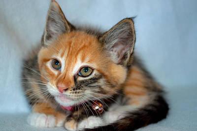 Photograph - Tortoiseshell Kitten by Tikvah's Hope