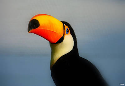 Toucan (ramphastos Toco) Art Print by T. Vossinakis, Paros island, Greece