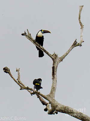 Photograph - Toucans In The Trees by John Burns