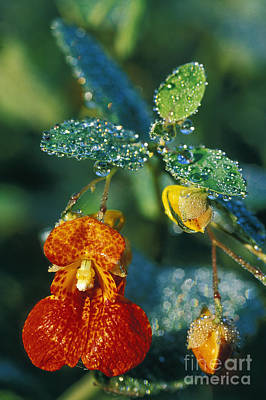 Impatiens Flowers Photograph - Touch-me-not And Morning Dew - Fs000358 by Daniel Dempster
