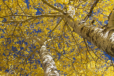 Towering Autumn Aspens With Deep Blue Sky Art Print by James BO  Insogna