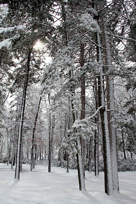 Photograph - Towering Wintry Pines by Mark J Seefeldt