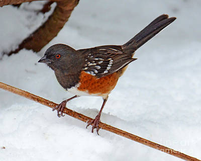 Photograph - Towhee In The Snow by Jack Moskovita