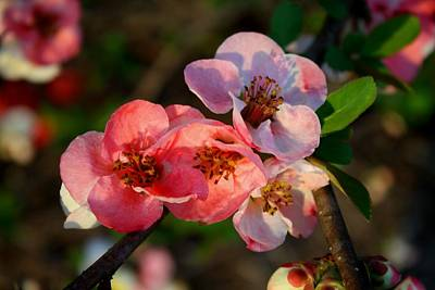 Art Print featuring the photograph Toyo Nishiki Quince by Kathryn Meyer