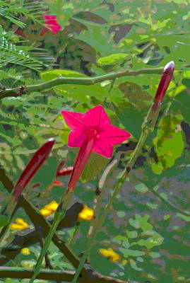 Impressionist Style Photograph - Tranlucent Cypress Vine Bloom With Buds by Padre Art