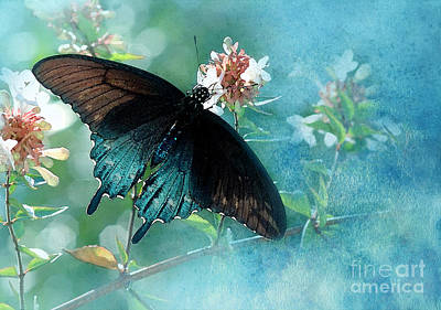 Pipevine Swallowtail Butterfly Photograph - Translucent by Betty LaRue