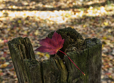 Of Fall Photograph - Trapped Maple Leaf by Peter Chilelli