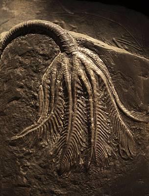 Triassic Photograph - Traumatocrinus Hsui Giant Pelagic Crinoid by Paul D Stewart