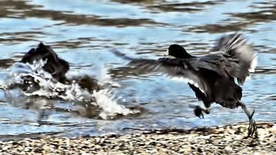 Ducks In Flight Digital Art - Travelin Coots by Don Mann