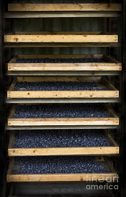 Rack Mixed Media - Trays Of Blueberries by Kim Henderson