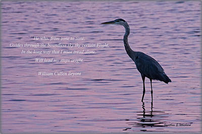 Treading Alone   Great Blue Heron  Art Print by Jonathan Whichard