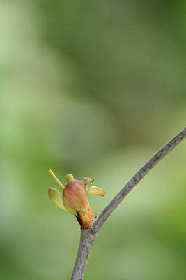 Art Print featuring the photograph Tree Bud by Peg Toliver