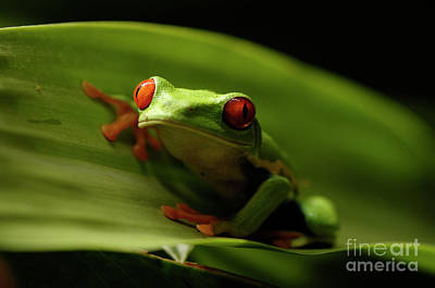 Tree Frog 10 Art Print by Bob Christopher
