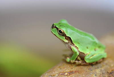 Frog Photograph - Tree Frog by Copyright Crezalyn Nerona Uratsuji