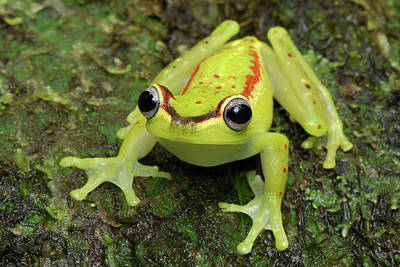 Photograph - Tree Frog Hyla Rubracyla, Colombia by Thomas Marent