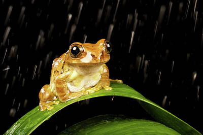 Tree Frog Photograph - Tree Frog In Rain by MarkBridger