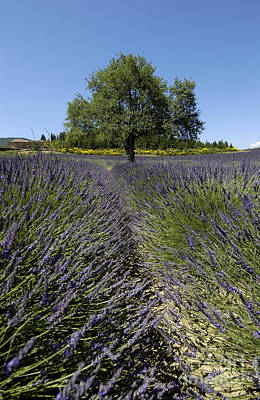 Provence Photograph - Tree In A Field Of Lavender. Provence by Bernard Jaubert
