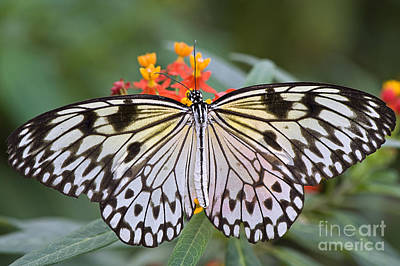 Idea Leuconoe Photograph - Tree Nymph Butterfly by Jacky Parker