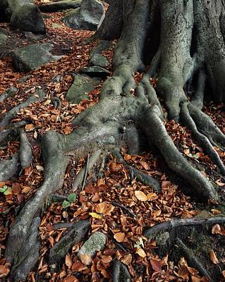 Tree Roots Photograph - Tree Roots Of A Beech Tree by Adrian Bicker