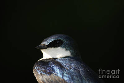 Photograph - Tree Swallow 2012 by Randy Bodkins