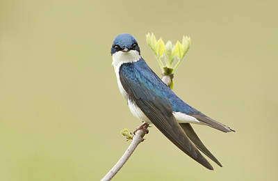 Swallow Photograph - Tree Swallow by Mircea Costina Photography