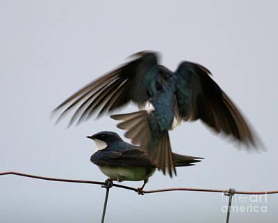 Tree Swallows Courtship Art Print