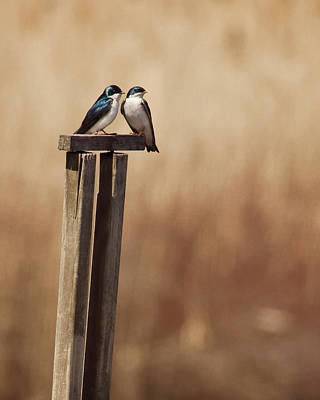 Swallows Photograph - Tree Swallows On Wood Post by Jody Trappe Photography