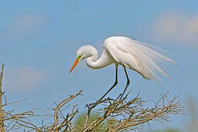 Photograph - Tree Top Egret by Alan Lenk
