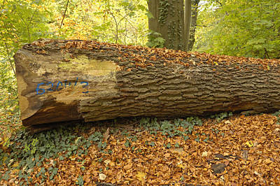 Photograph - Tree Trunk In Fall by Matthias Hauser