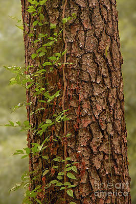Photograph - Tree Trunk With Vines by Herb Paynter