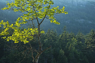 All You Need Is Love - Tree with backlit leaves in Maine No.204 by Randall Nyhof