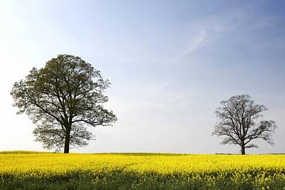 Trees In A Rapeseed Field, Yorkshire Art Print by John Short