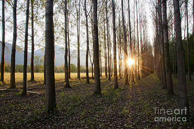 Trees In Alee With Low Sun Art Print by Mats Silvan