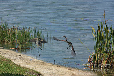Photograph - Tri-color Heron Dispute by Terri Mills